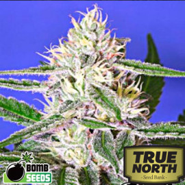 Edam Bomb  REGULAR Seeds (Bomb Seeds)