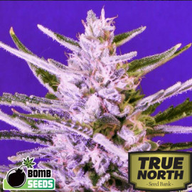 Ice Bomb FEMINIZED Seeds (Bomb Seeds)