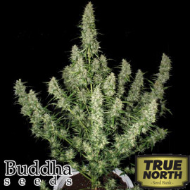 Magnum Auto Feminized Seeds (Buddha Seeds)