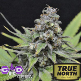 CBD Shark FEMINIZED Seeds (CBD Crew)
