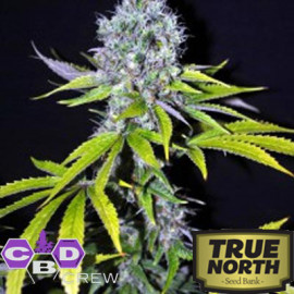 CBD Yummy FEMINIZED Seeds (CBD Crew)