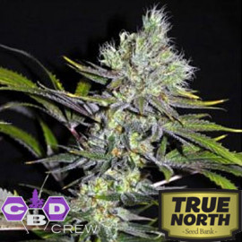 CBD Sweet 'n Sour Widow REGULAR Seeds (CBD Crew)