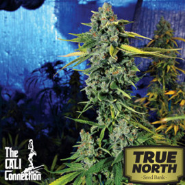 Blue Dream Haze FEMINIZED Seeds (Cali Connection)