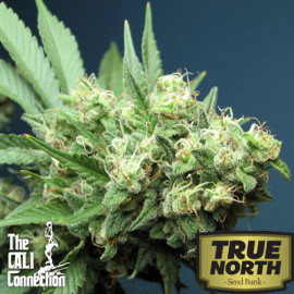 Green Crack FEMINIZED Seeds (Cali Connection)