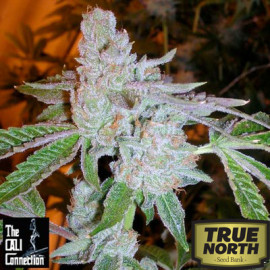 Buddha Tahoe OG FEMINIZED Seeds (Cali Connection)