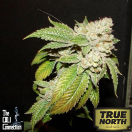 Larry OG Kush FEMINIZED Seeds (Cali Connection)