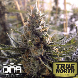 24K Gold (aka Kosher Tangie) FEMINIZED Seeds (DNA Genetics)