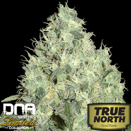 91 Krypt REGULAR Seeds - Limited Collection (DNA Genetics)