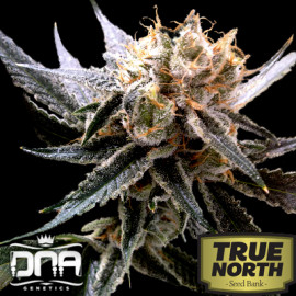 Sour Tangie FEMINIZED Seeds (Reserva Privada)
