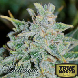 Northern Lights Blue AUTOFLOWERING FEMINIZED Seeds (Delicious Seeds)