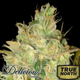 Black Russian FEMINIZED Seeds (Delicious Seeds)