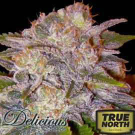 Caramelo Early Version FEMINIZED Seeds (Delicious Seeds)