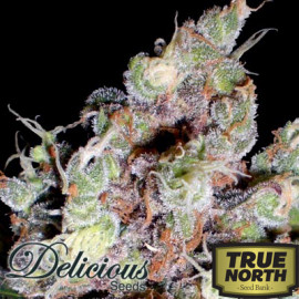Cotton Candy FEMINIZED Seeds (Delicious Seeds)