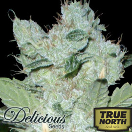 Critical Nevilles Haze FEMINIZED Seeds (Delicious Seeds)