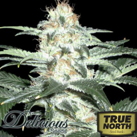 Critical Sensi Star FEMINIZED Seeds (Delicious Seeds)