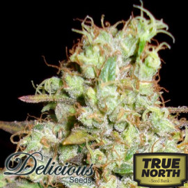 Critical Super Silver Haze FEMINIZED Seeds (Delicious Seeds)