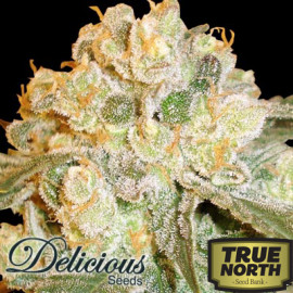 Marmalate FEMINIZED Seeds (Delicious Seeds)