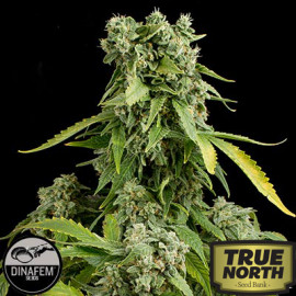 Blue Cheese Feminized Seeds (Dinafem)