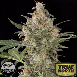 Critical Cheese Autoflowering Feminized Seeds (Dinafem)