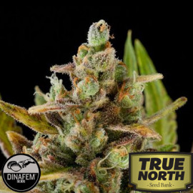 Critical Kush Feminized Seeds (Dinafem)