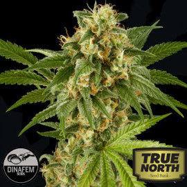 Kush-N-Cheese Feminized Seeds (Dinafem)
