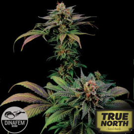 Blue Widow Feminized Seeds (Dinafem)