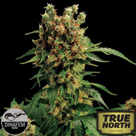 California Hash Plant Feminized Seeds (Dinafem)