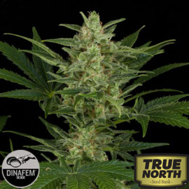 Critical Jack Feminized Seeds (Dinafem)