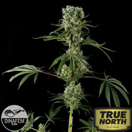 Moby Dick #2 Feminized Seeds (Dinafem)