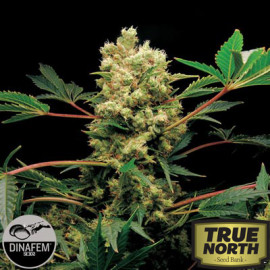 Power Kush Feminized Seeds (Dinafem)