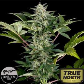 Roadrunner Autoflowering Feminized Seeds (Dinafem)