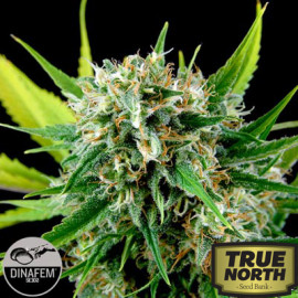 Royale Haze Feminized Seeds (Dinafem)