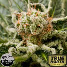 Shark Attack Feminized Seeds (Dinafem)