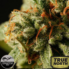 Sweet Deep Grapefruit Feminized Seeds (Dinafem)