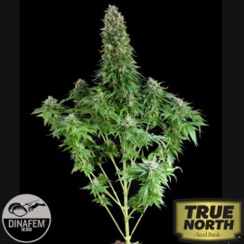White Siberian Feminized Seeds (Dinafem)
