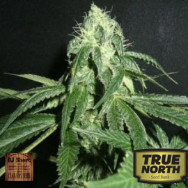 True Blueberry REGULAR Seeds (DJ Short)