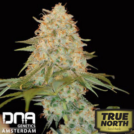 La Chocolat FEMINIZED Seeds (DNA Genetics)