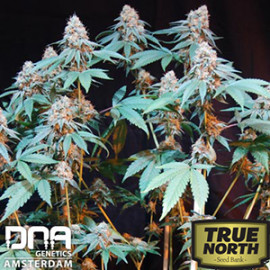 Cannalope Kush FEMINIZED Seeds (DNA Genetics)