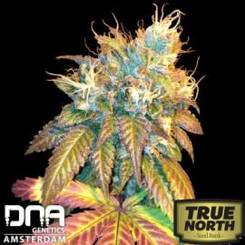 Sour Secret FEMINIZED Seeds (DNA Genetics)