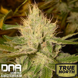 Cannalope Haze Regular Seeds (DNA Genetics)