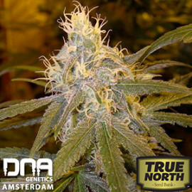 Chocolope FEMINIZED Seeds (DNA Genetics)