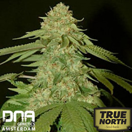 Holy Grail Kush FEMINIZED Seeds (DNA Genetics)