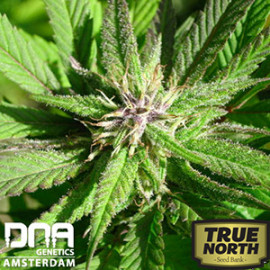 L.A. Confidential FEMINIZED Seeds (DNA Genetics)