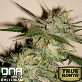Sleestack x Skunk REGULAR Seeds - Limited Collection (DNA Genetics)