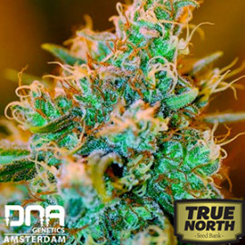 Chocolope Kush FEMINIZED Seeds (DNA Genetics)