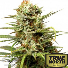 AutoWhite Widow Feminized Seeds (Dutch Passion)