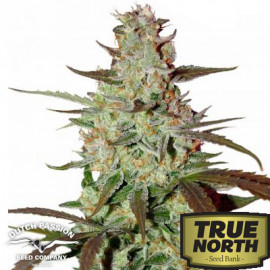 Blue AutoMazar Feminized Seeds (Dutch Passion)