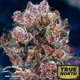 Blueberry Feminized Seeds (Dutch Passion)