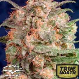 Brainstorm Feminized Seeds (Dutch Passion)