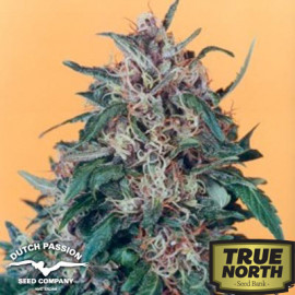 Holland's Hope Feminized Seeds (Dutch Passion)